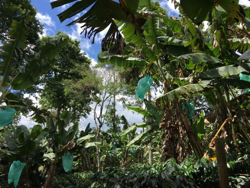 El Ocaso koffieplantage