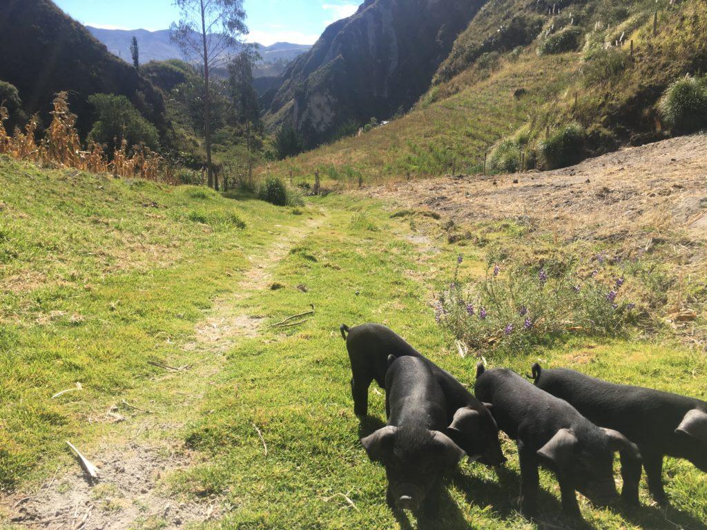 Quilotoa Loop: Je komt heel veel dieren tegen onderweg :)