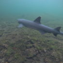 Snorkeltrip: Los Tuneles Black Reef Shark