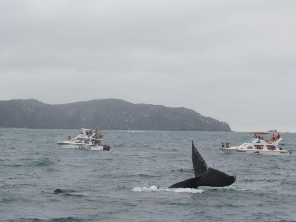 Walvissen spotten in Puerto Lopez