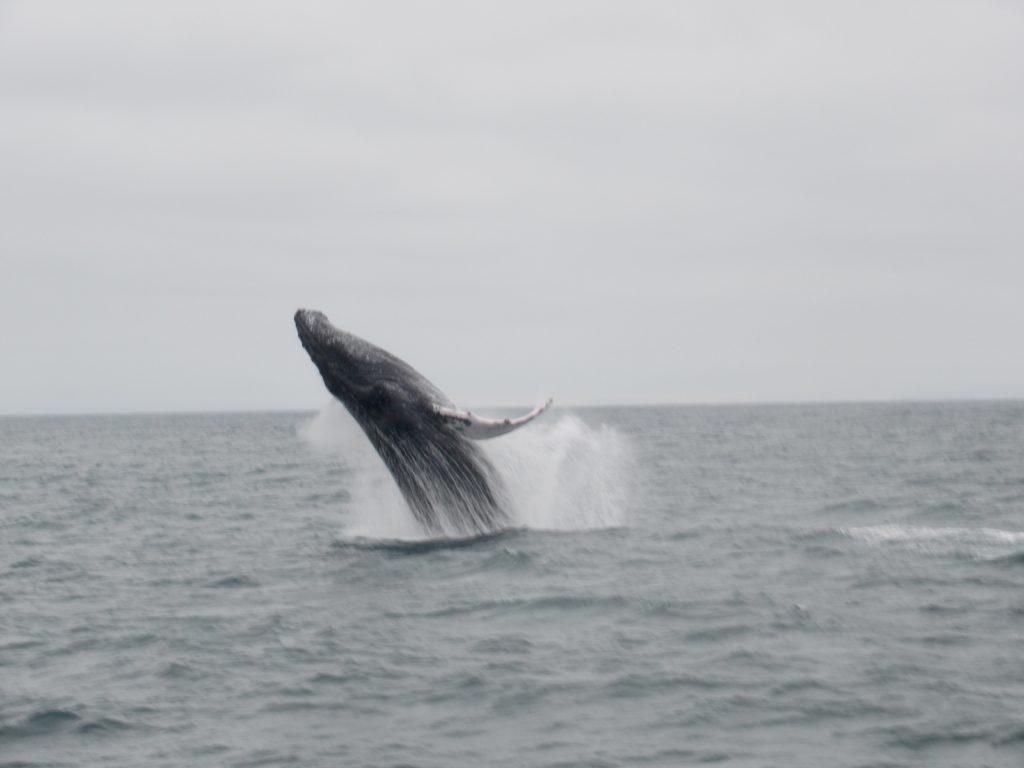 Walvissen in Puerto Lopez