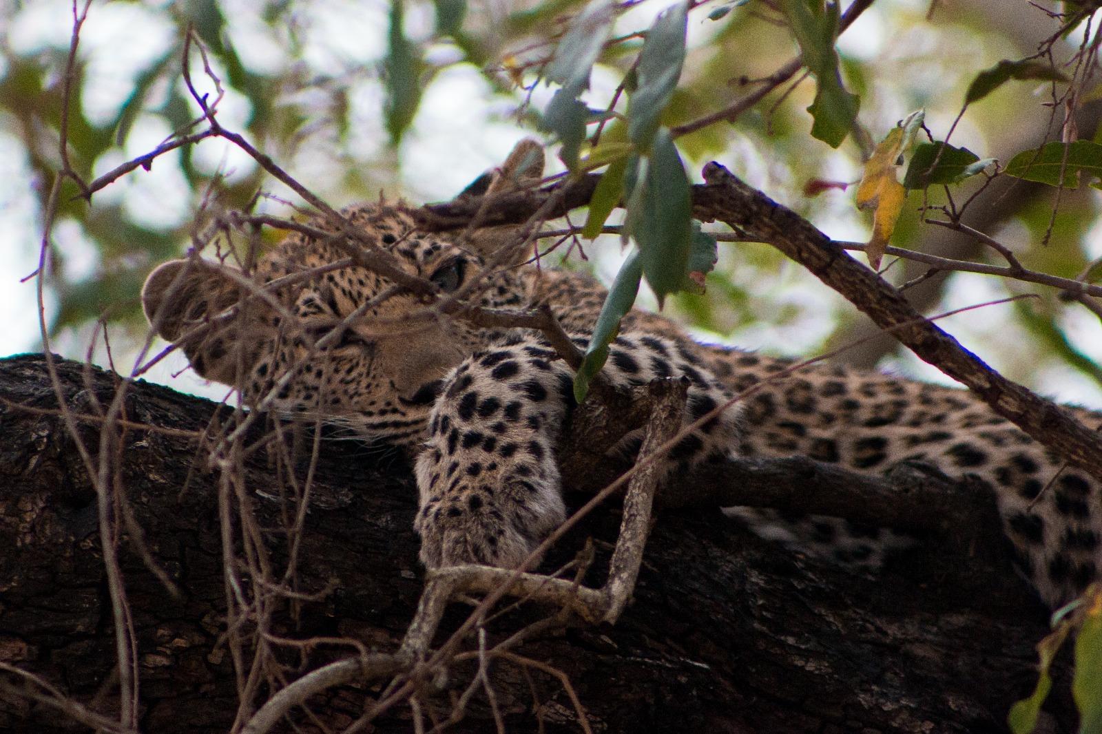Krugerpark: Baby Luipaard