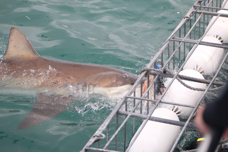 Tips Kaapstad: Kooiduiken met Haaien in Gansbaa