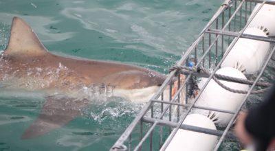 Kooiduiken met haaien