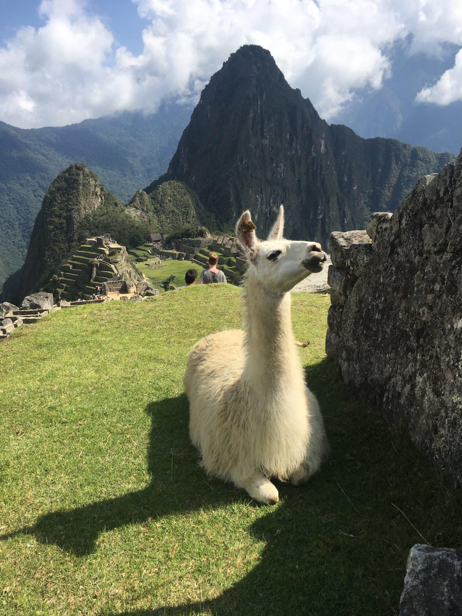 Er leven ook Alpaca's in Machu Picchu
