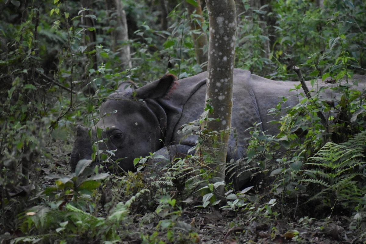 Een van de vele neushoorns in Chitwa